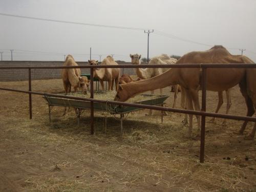 Sheik Fairuz' Camel Farm