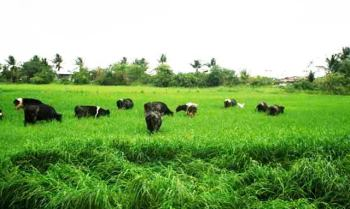 cattle_grazing_large