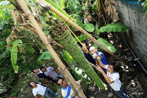 9-Foot long bundle of banana discovered in Brgy Catbagen,Sn Fernanco La Union.