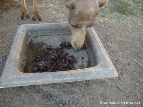 Dessert for Camels.Dates are part of their meals in one of the farms in Oman.