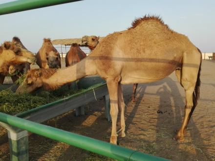 Camel Ride .me