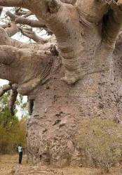 Senegal_Oldest Tree in the World